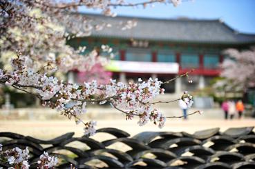 금산사에 핀 벚꽃. 봄마다 벚꽃과 목련이 아름다운 풍경을 연출한다.<사진:이윤정 기자>